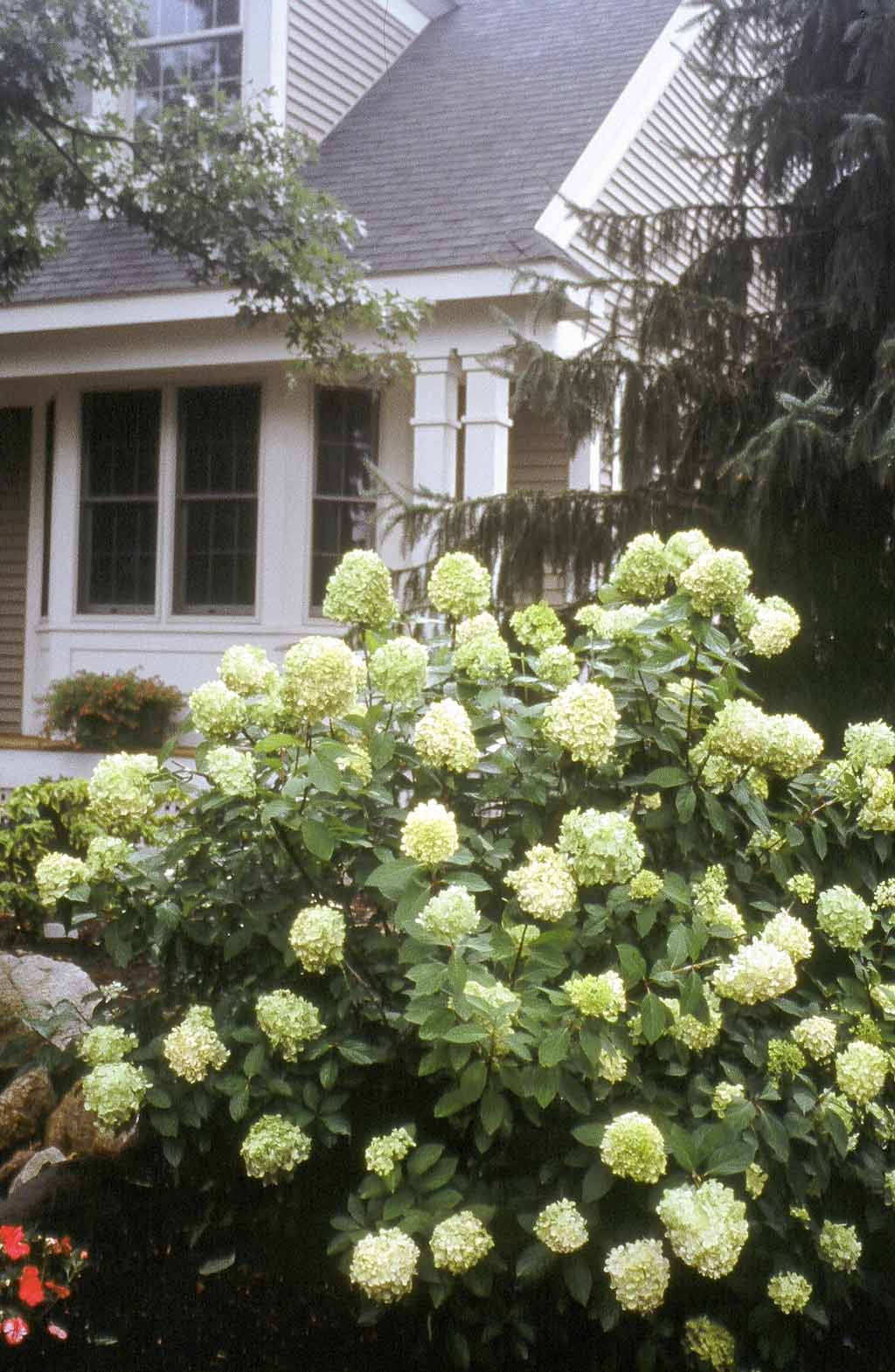 Limelight Hydrangea Shade