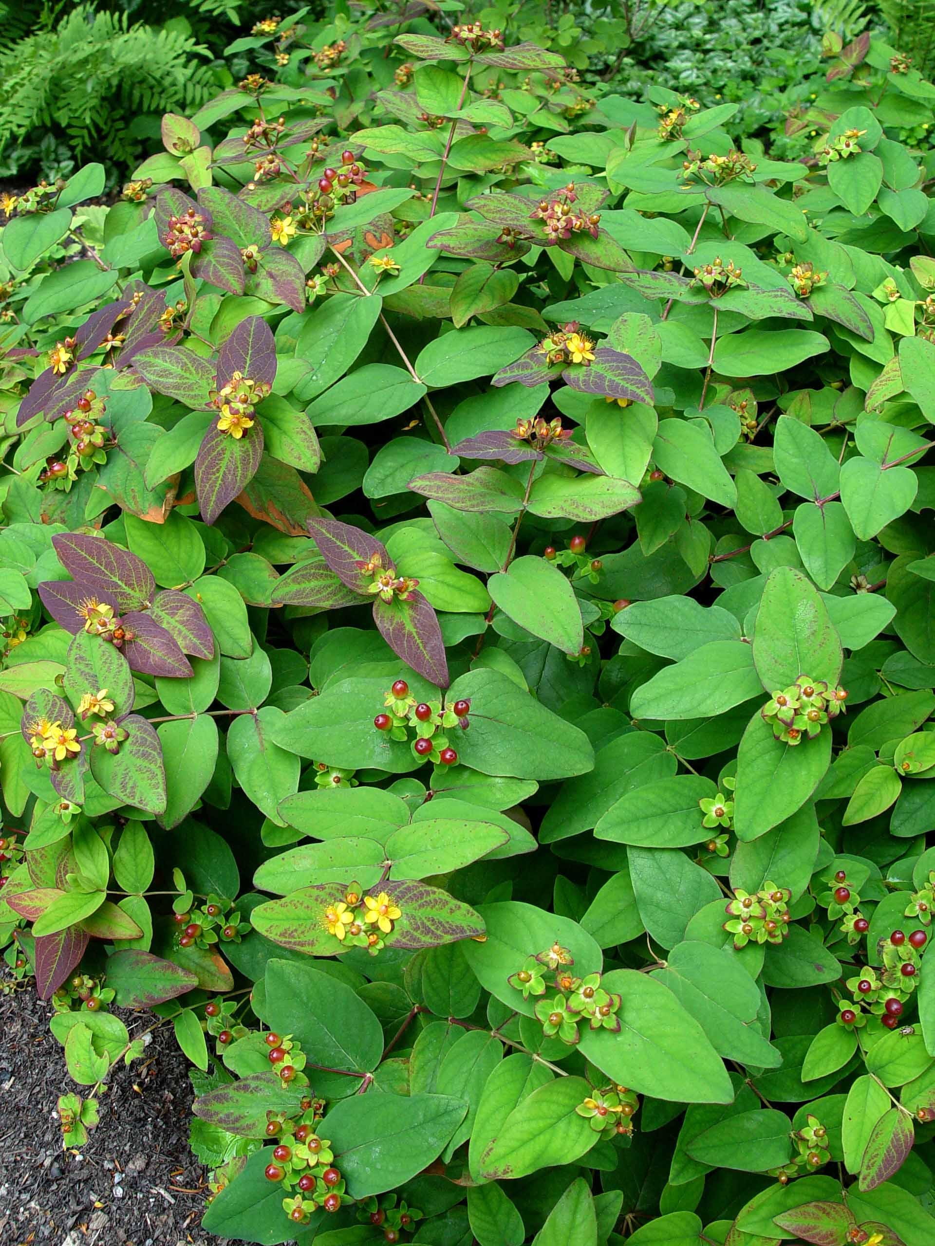 Deer Resistant Ground Cover Perennials: St. Johnswort 'Albury Purple'