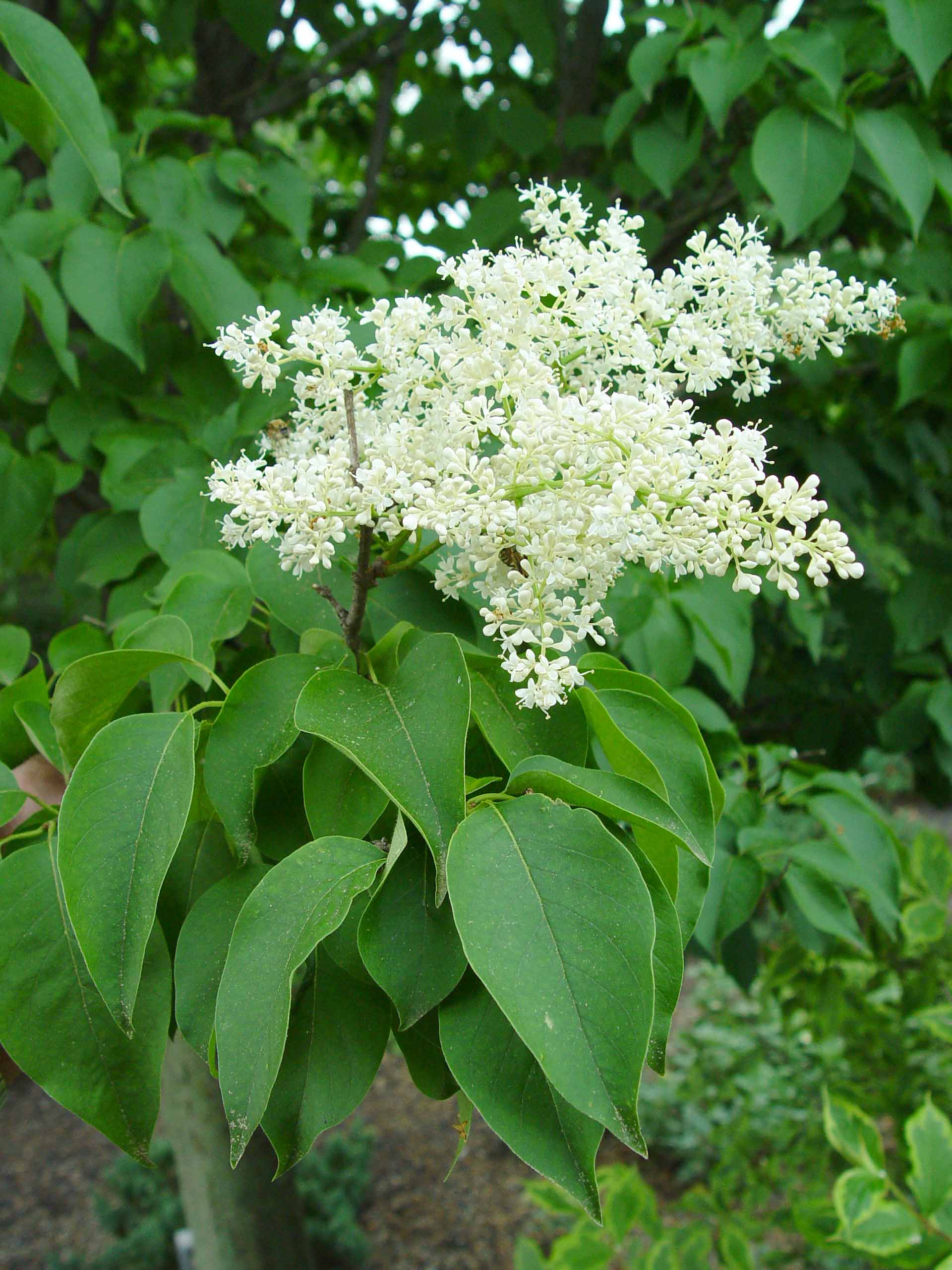 Japanese Tree Lilac Garden Housecalls