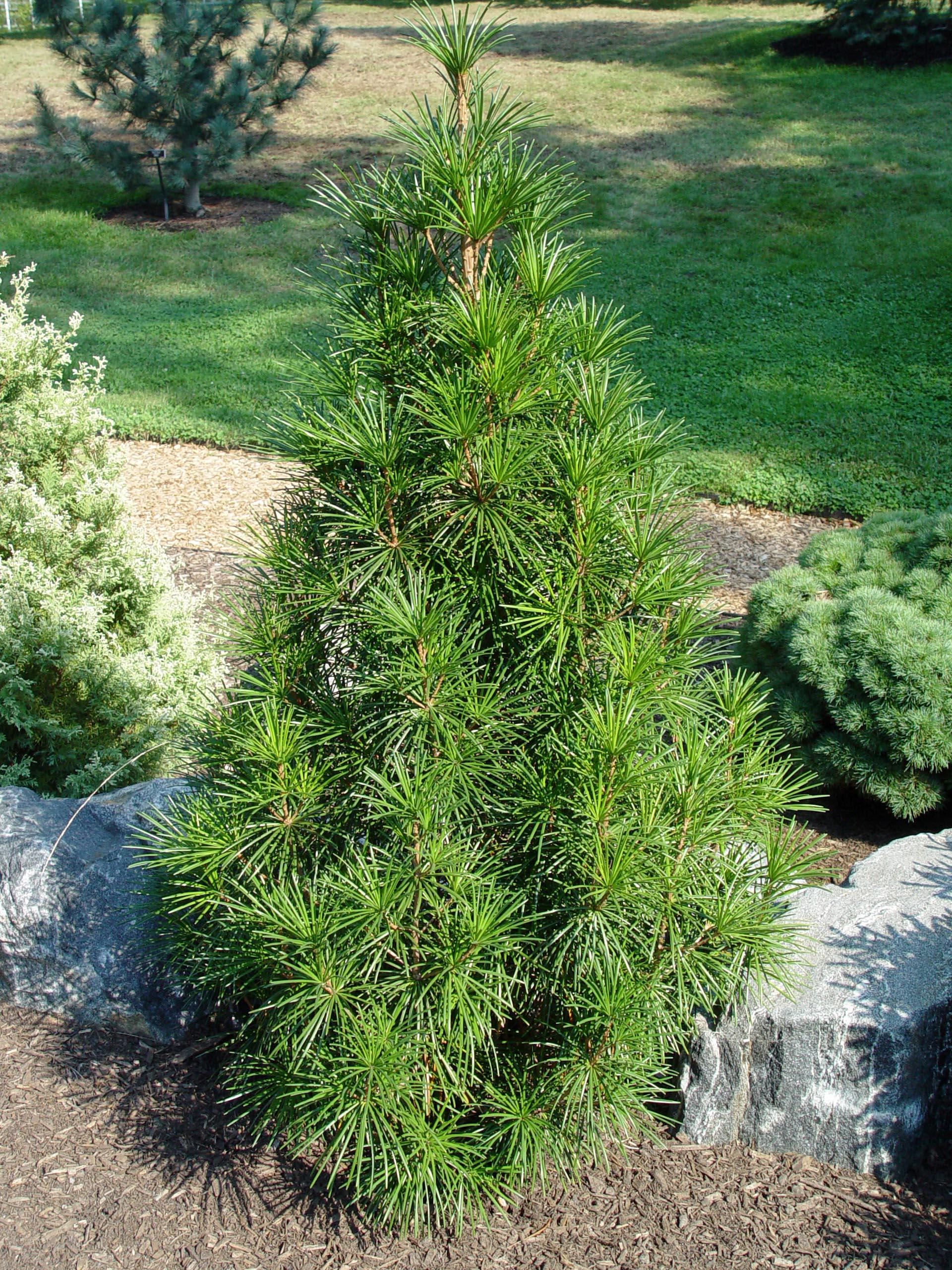 Japanese Umbrella Pine George Weigel