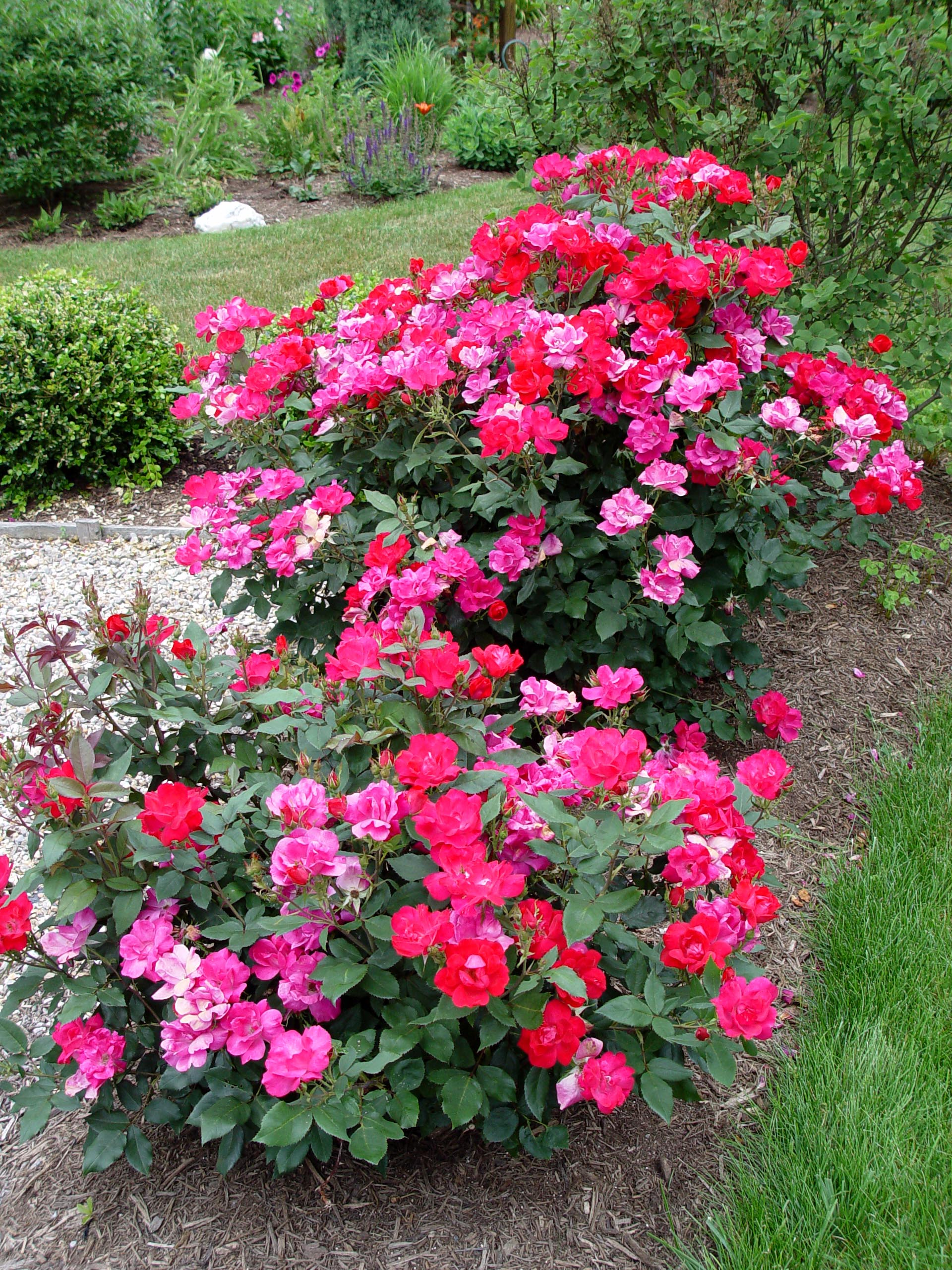 Rose knock out r garden housecalls - Planting rose shrub step ...