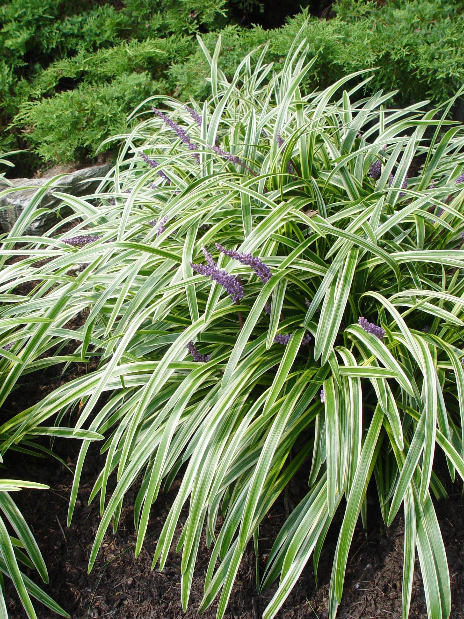 Variegated Liriope Garden Housecalls