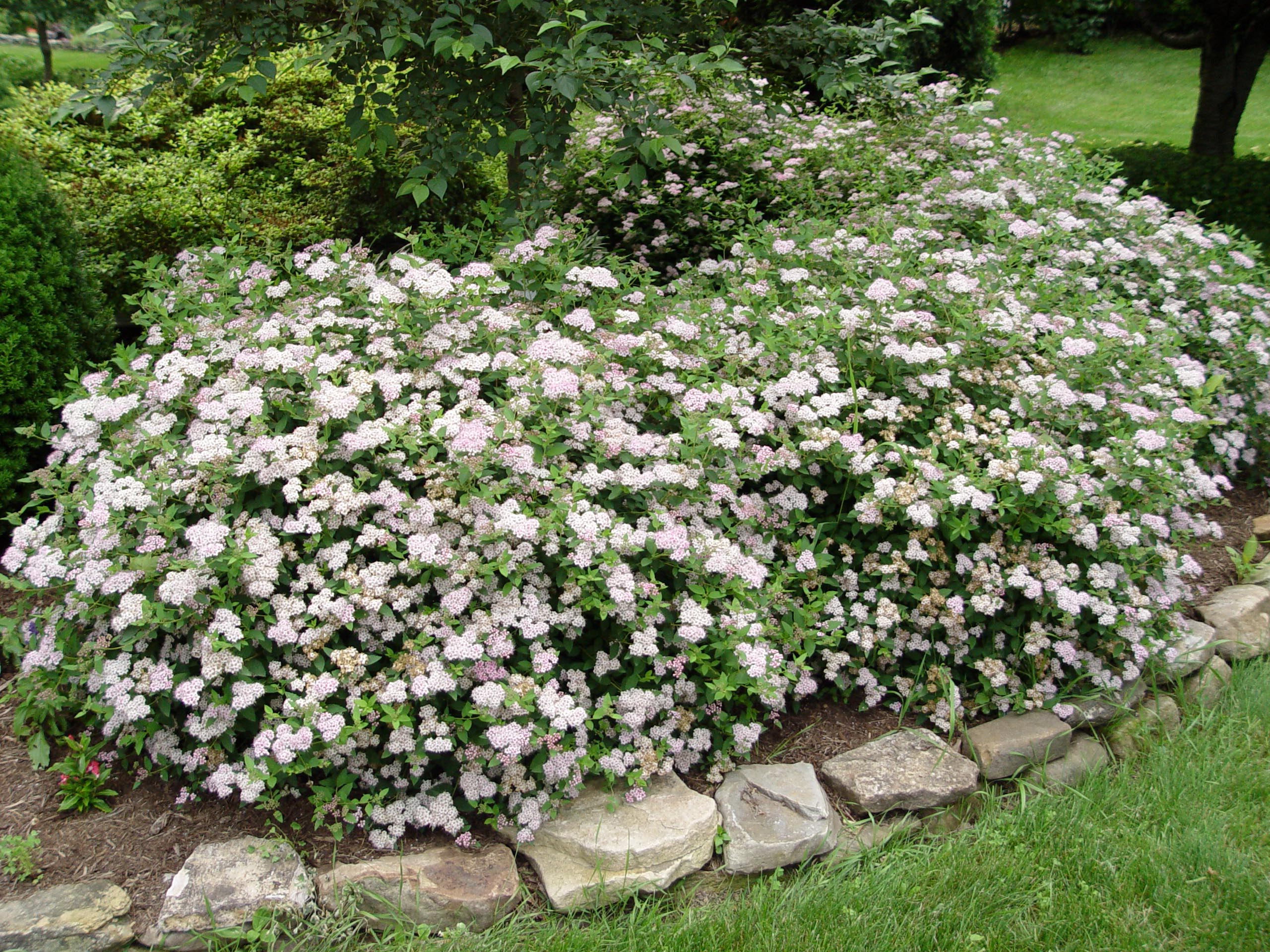 Spirea 39 little princess 39 garden housecalls for Best small bushes for landscaping