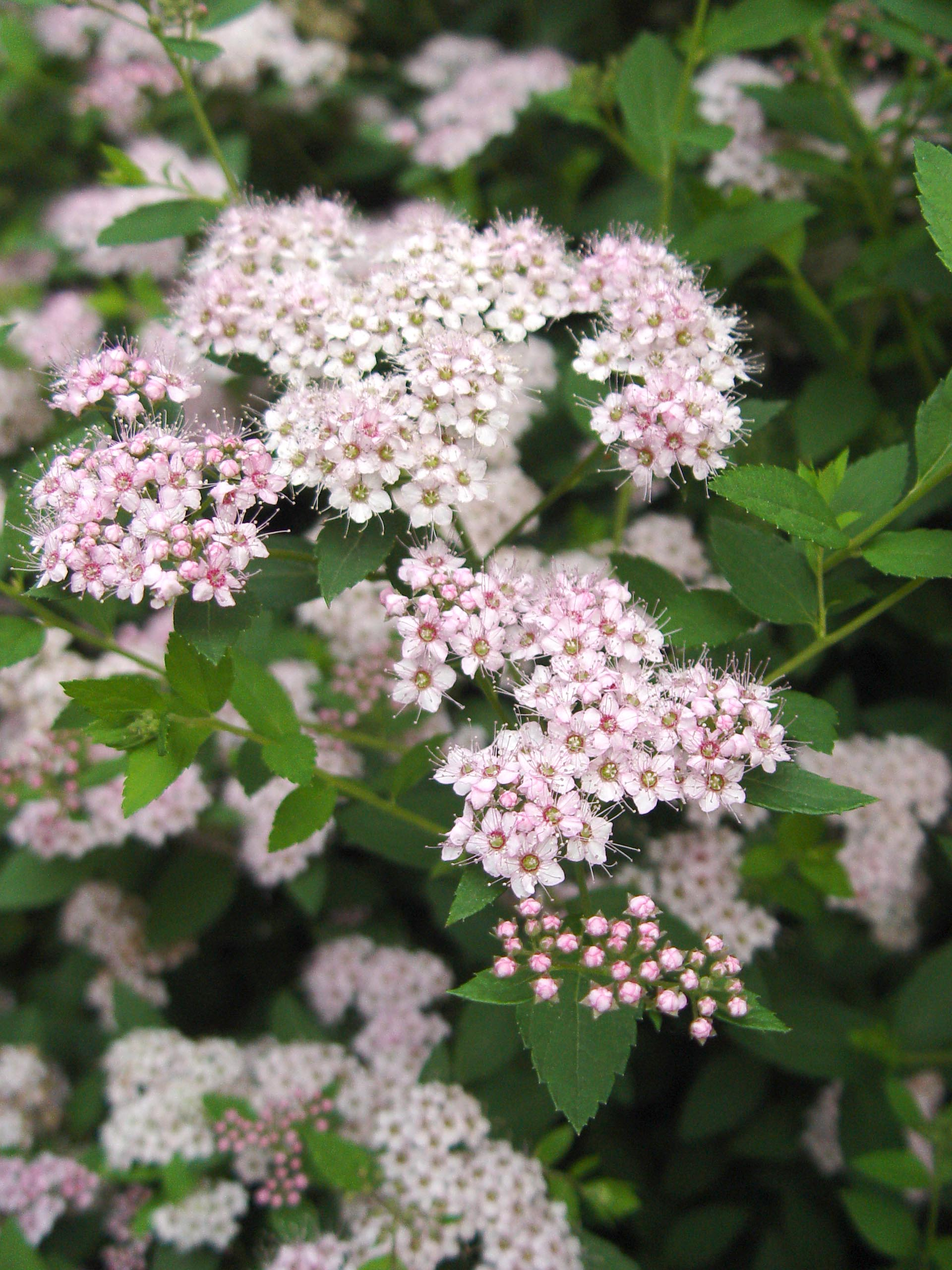 Spirea Little Princess Garden Housecalls
