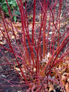 Red stems of a red-twig dogwood in winter.
