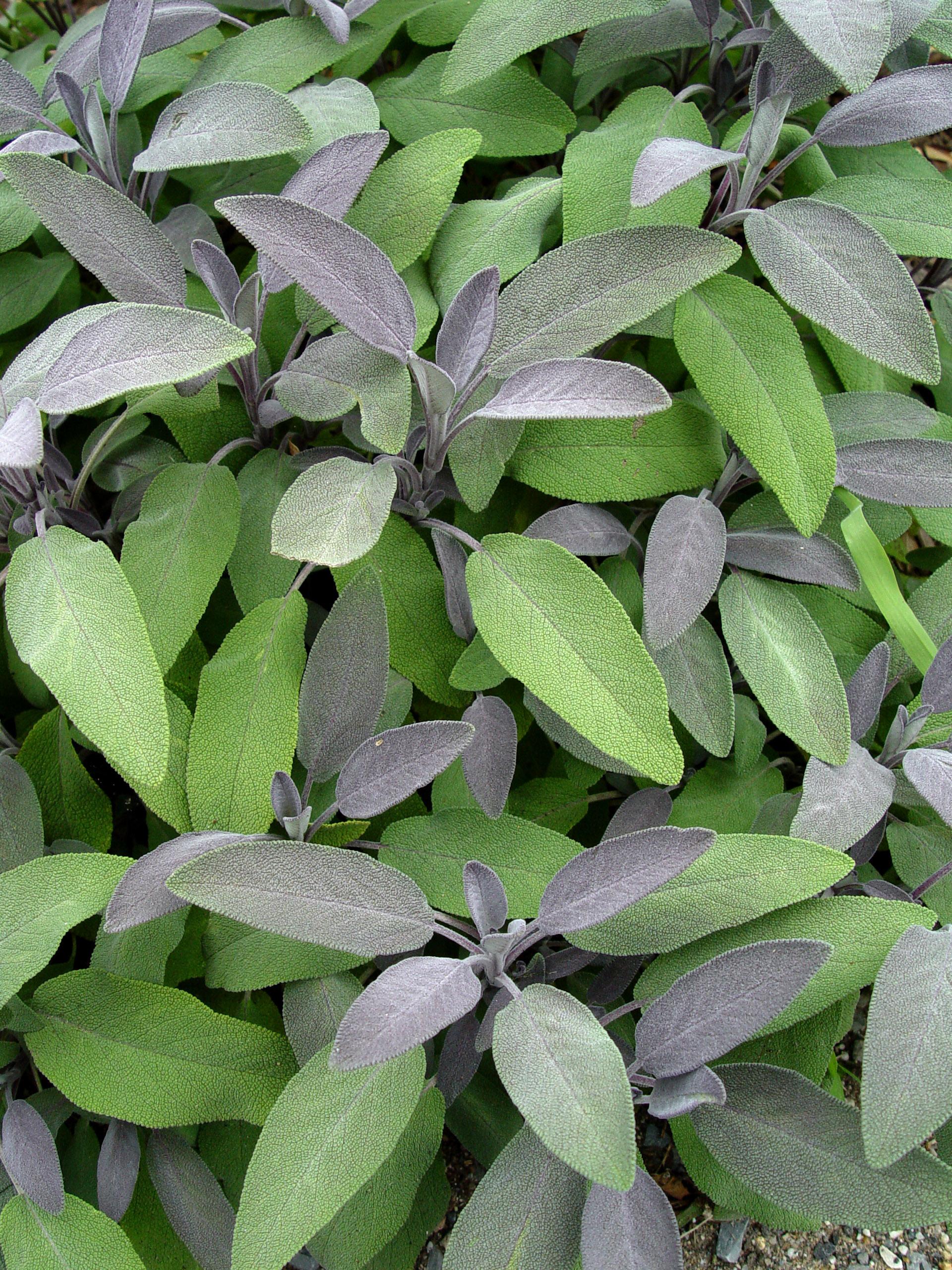 Purple Garden Sage Garden Housecalls