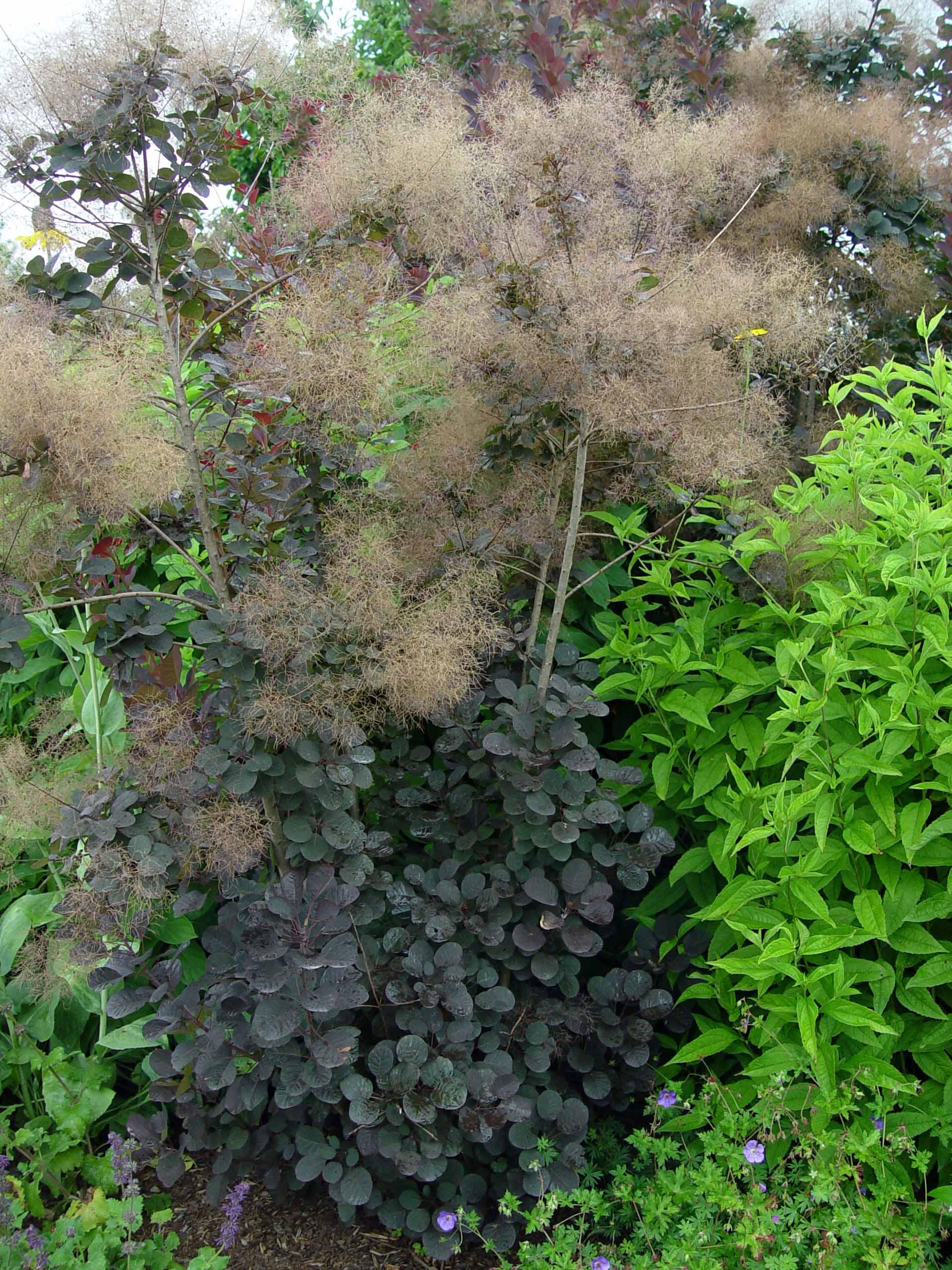 Garden Housecalls Purple Smoketree Royal Purple