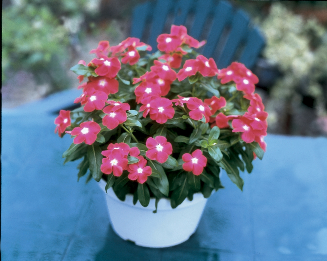 Vinca Jaio Scarlet Eye Garden Housecalls
