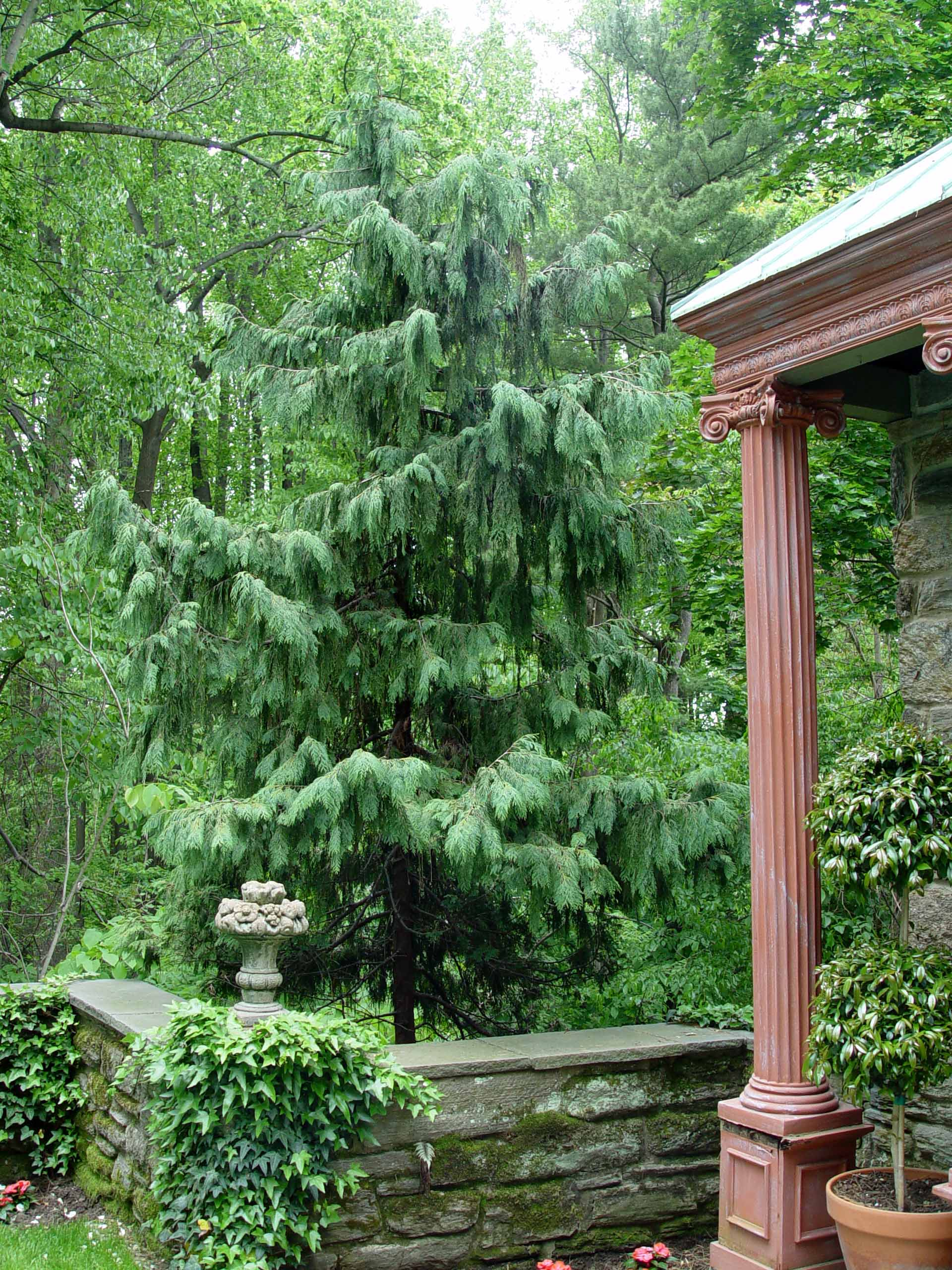 Garden Housecalls Weeping Alaska Cedar