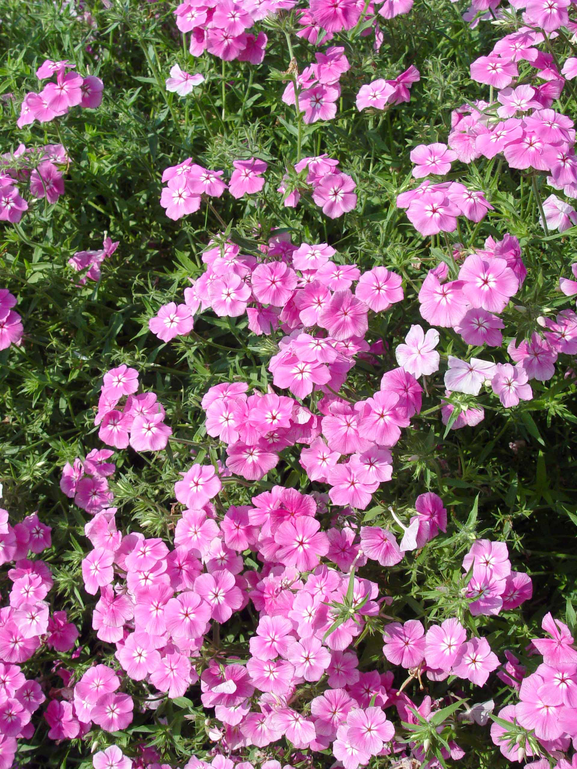 nursery perennial pleasures prime minister specialists product file garden phlox tall