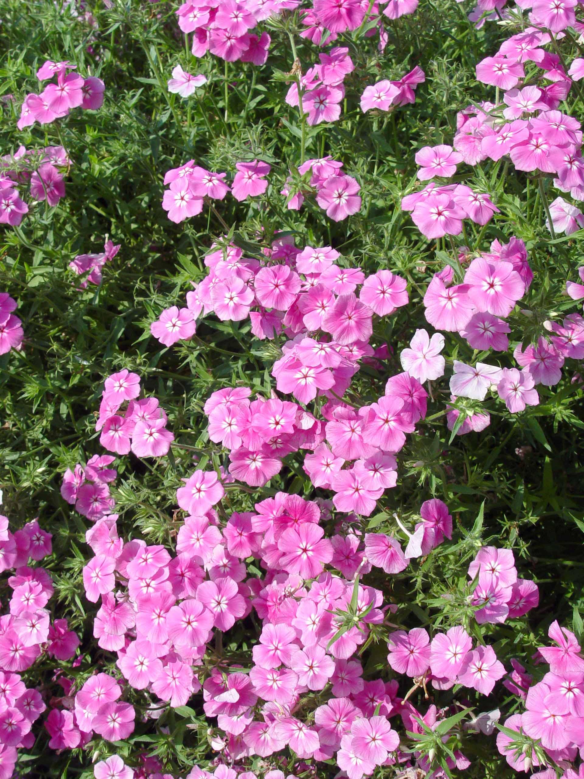 ice phlox garden cap tall plants monrovia catalog plant