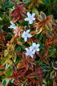 Garden Housecalls Abelia Kaleidoscope