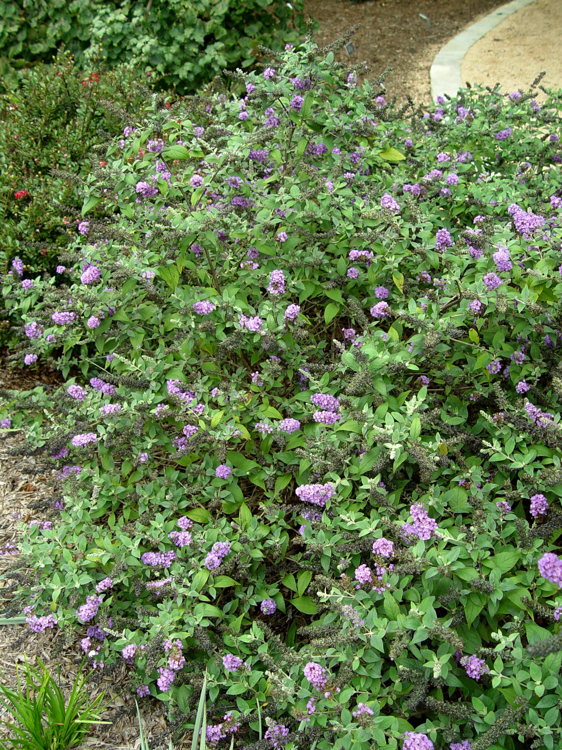 Garden Housecalls Butterfly Bush Lo And Behold Blue Chip