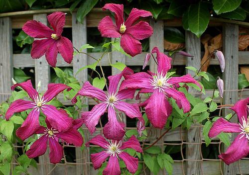 Garden Housecalls Clematis Madame Julia Correvon