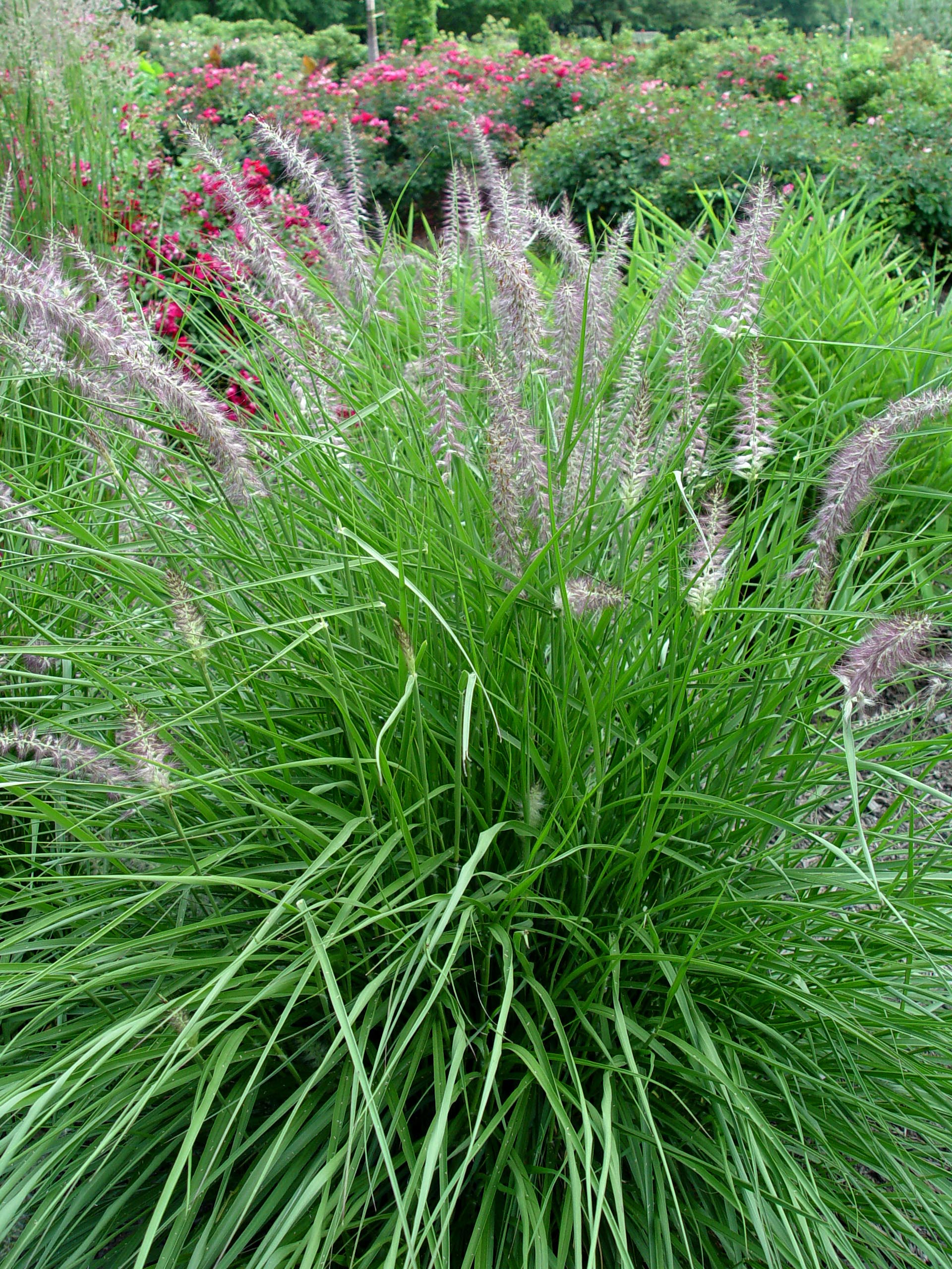 Fountain grass 39 karley rose 39 garden housecalls for Blue fountain grass