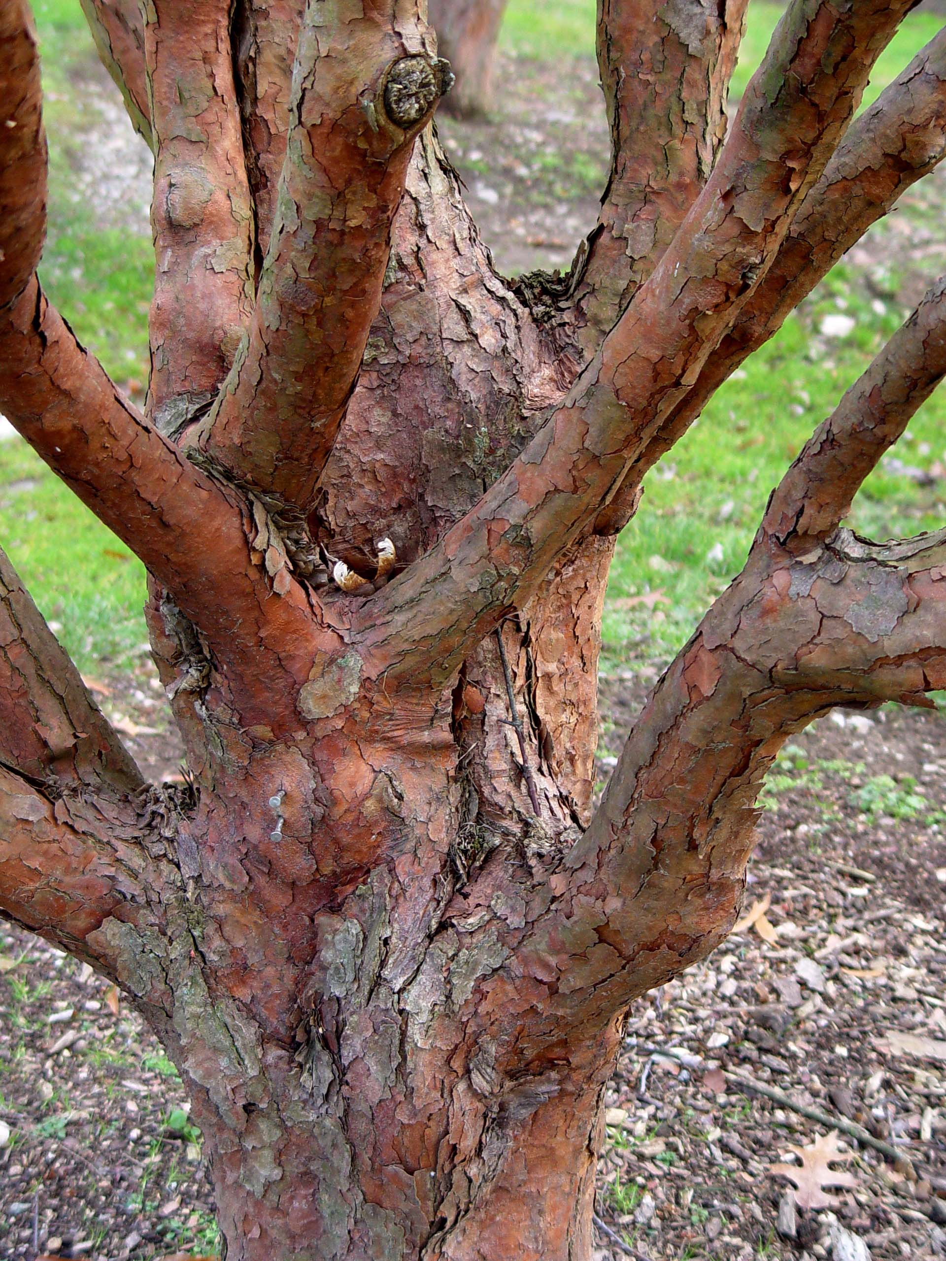 Garden Housecalls Paperbark Maple