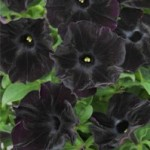 Are you ready for a black petunia?