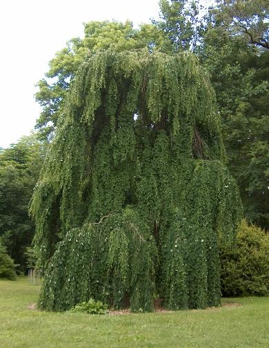 Weeping katsura tree garden housecalls for Weeping garden trees