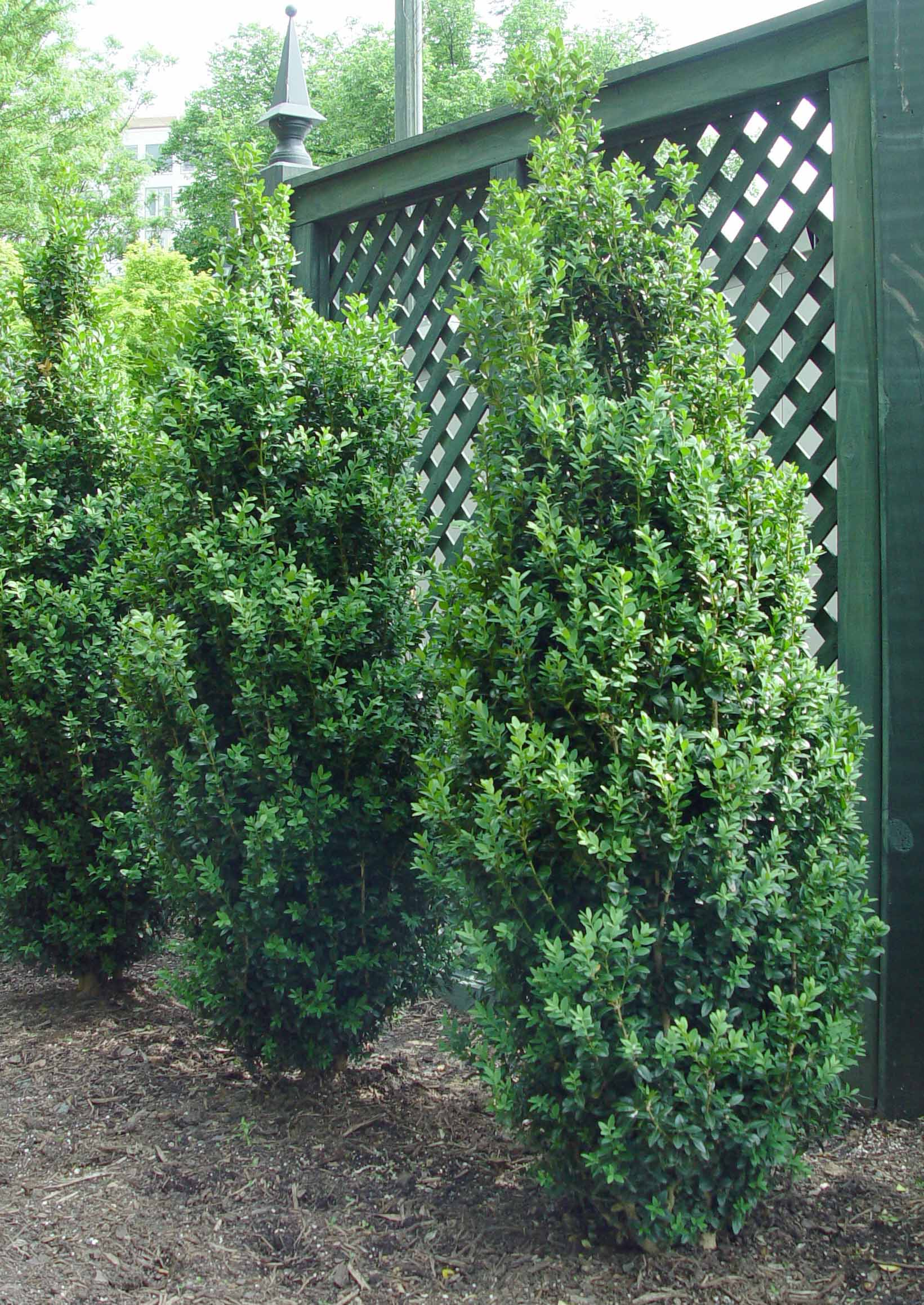 Boxwood 39 dee runk 39 garden housecalls for Slender trees for small spaces