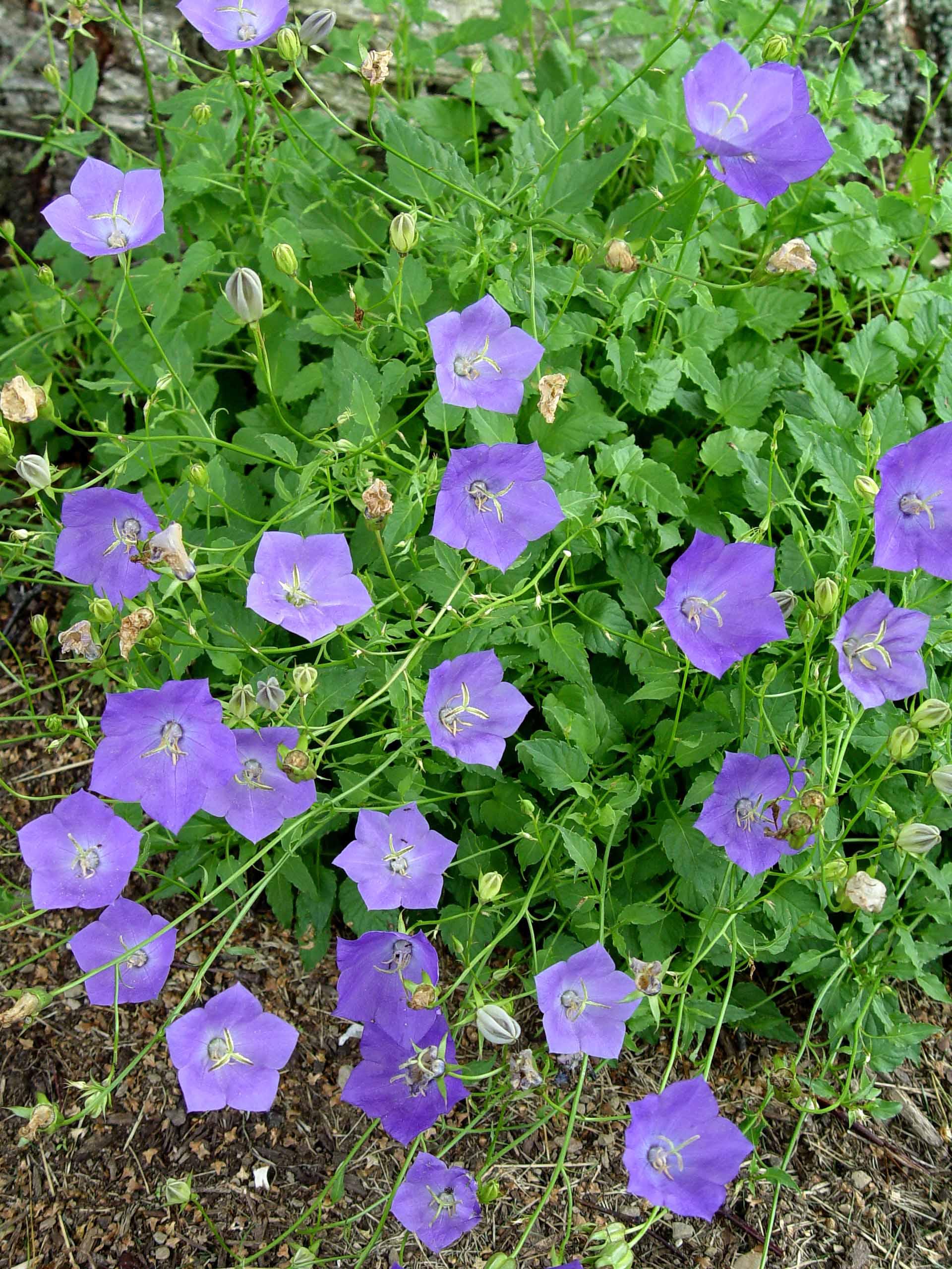 Campanula Blue Clips Garden Housecalls