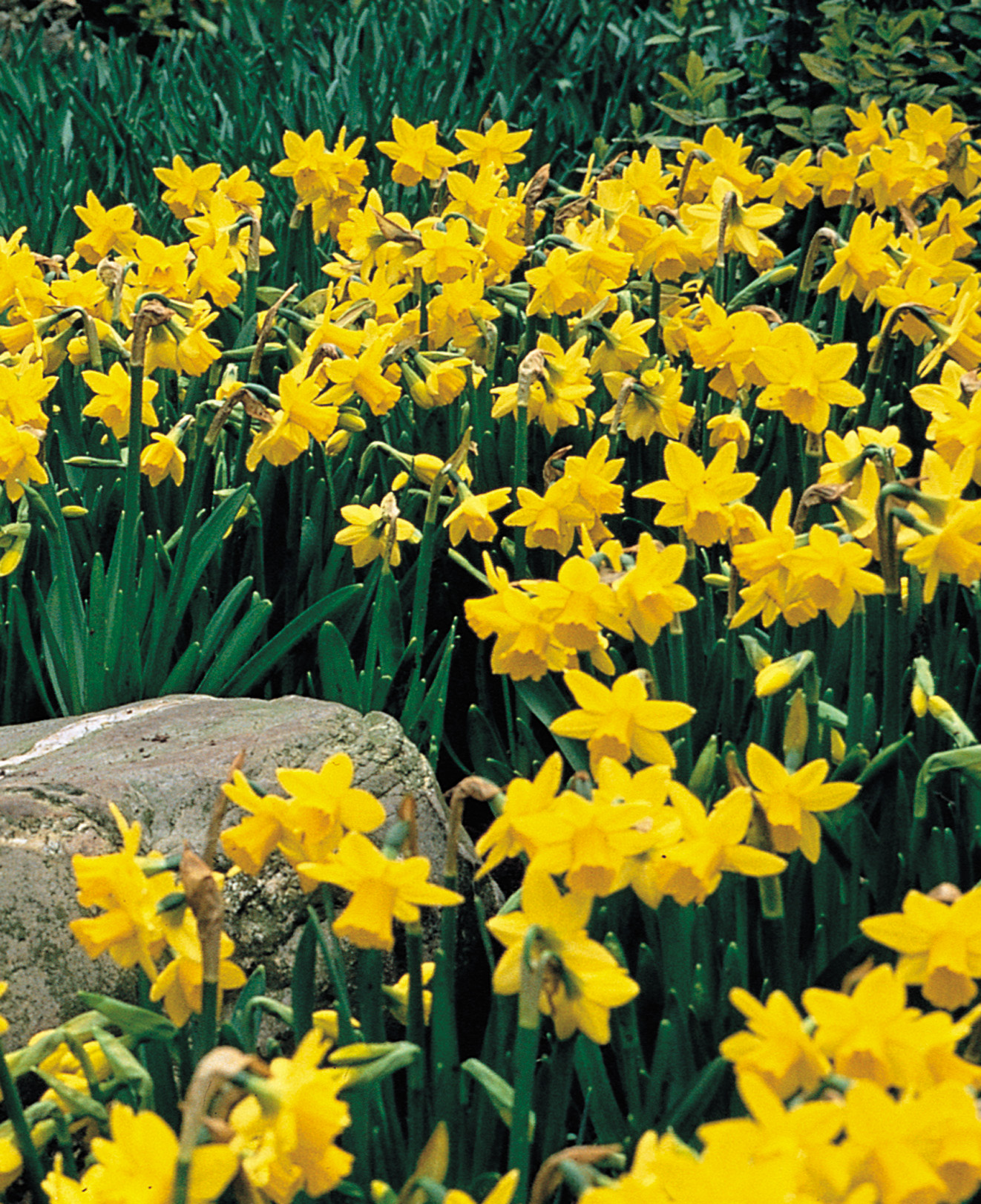 daffodil - photo #7