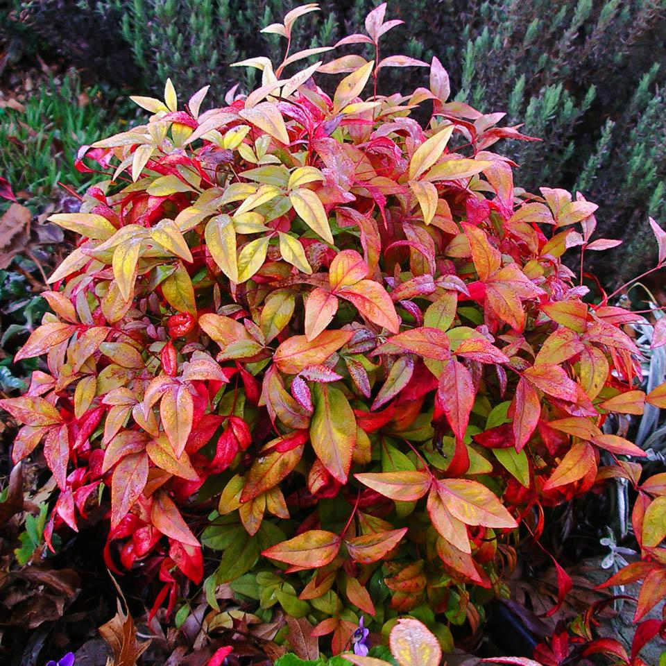 Nandina 39 firepower 39 garden housecalls for Ornamental grasses that stay green all year