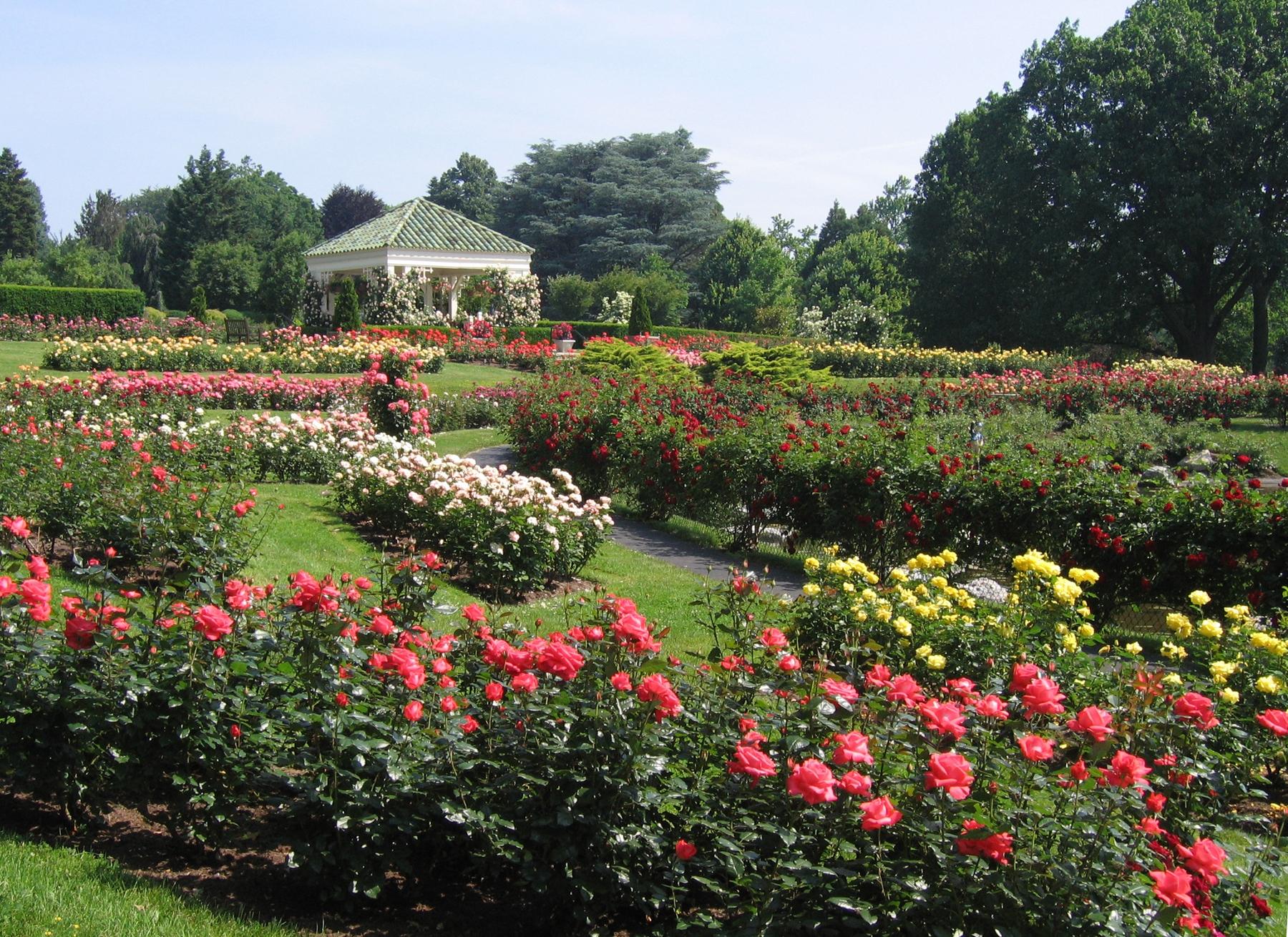 Rose Bushes That Bloom All Summer