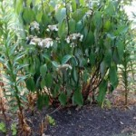 Plant Sunburn