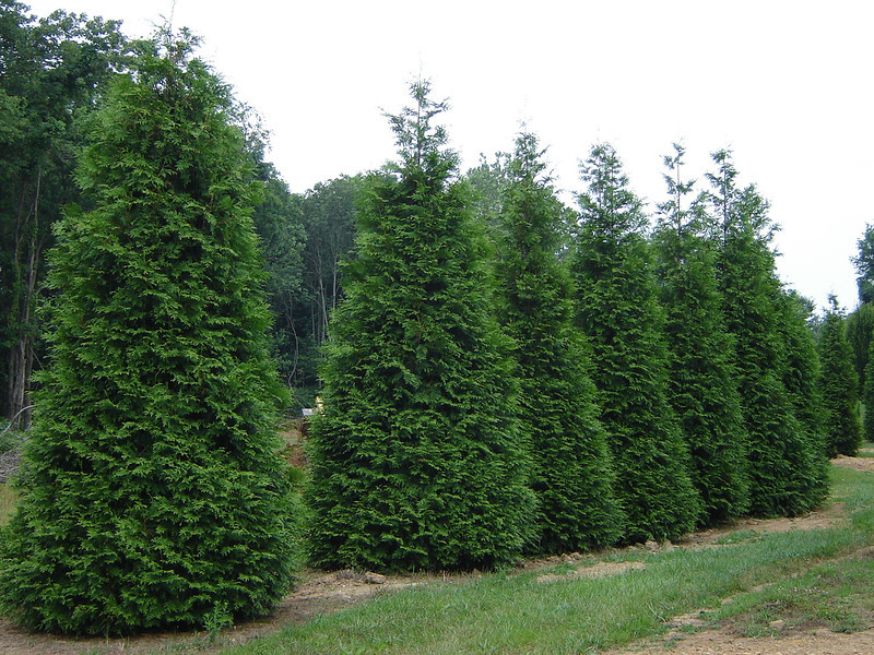 Image result for green giant arborvitae in landscaping