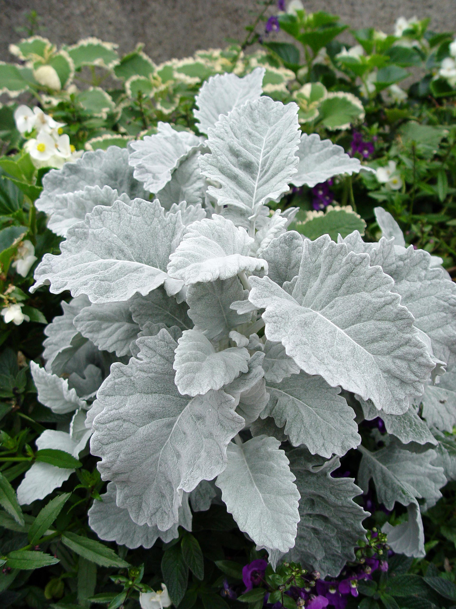 Dusty Miller New Look Garden Housecalls