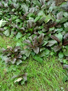 Ajuga creeping its way out into a lawn.