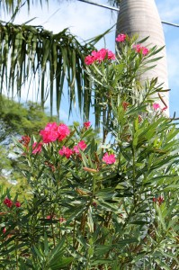 Oleander is one of the most toxic plants... to dogs, cats and people.