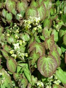 Barrenwort 'Sulphureum.'