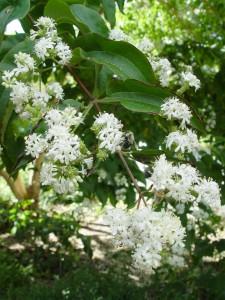 Seven son flower in bloom.