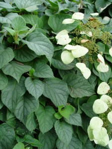 Japanese hydrangea vine 'Moonlight.'