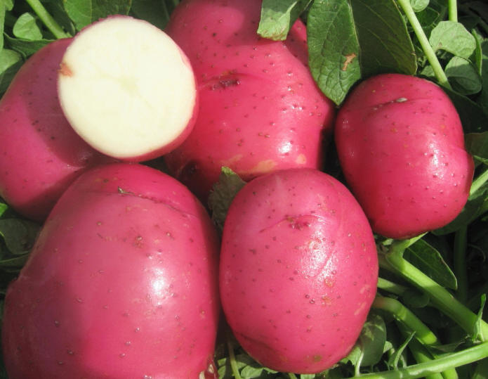 Garden Housecalls Potato Red Norland