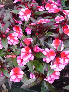 New Guinea impatiens (this one is 'Rose Star') are apparently resistant to downy mildew.