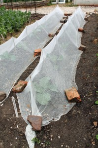 Cheesecloth serving as a Colonial floating row cover.