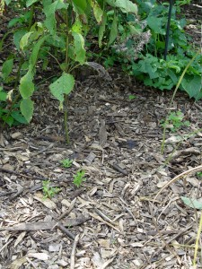 Wood chip mulch.
