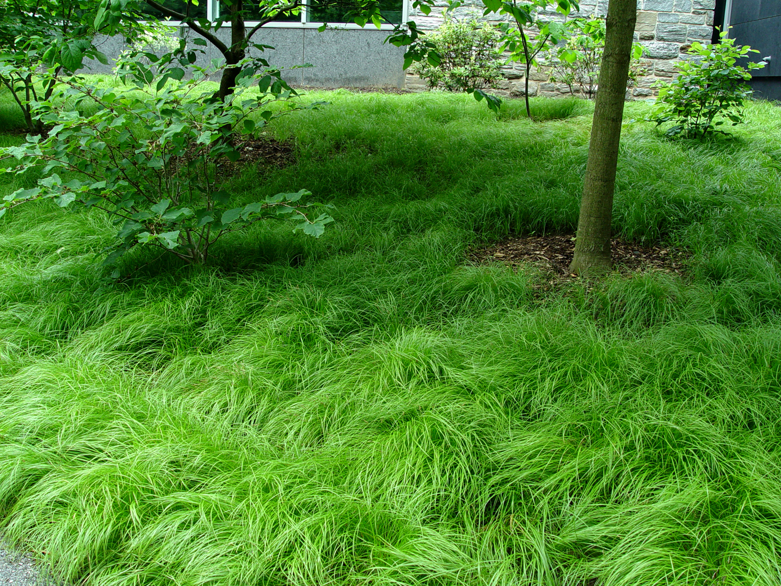 Pennsylvania sedge garden housecalls for Tall ornamental grasses for shaded areas