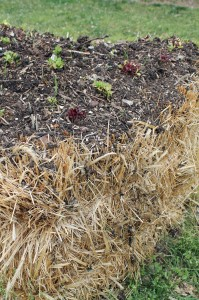 A light layer of potting mix across the top of a bale allows for direct-seeded crops.