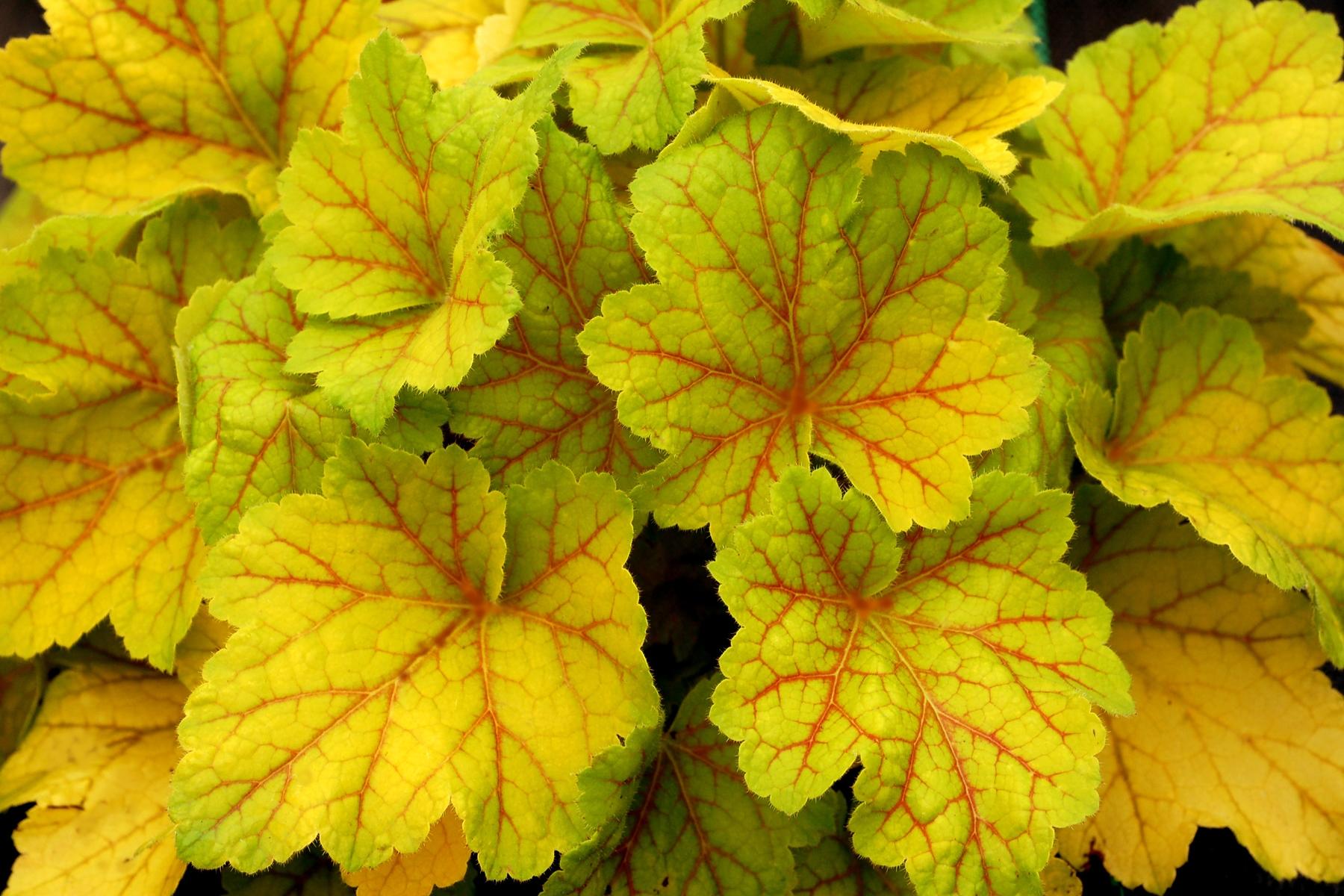 Garden Housecalls Coralbells Electra