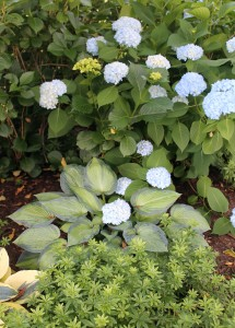"The hydrangea has dropped a blooming arm into the lap of the hosta, creating a ""hostarangea."""