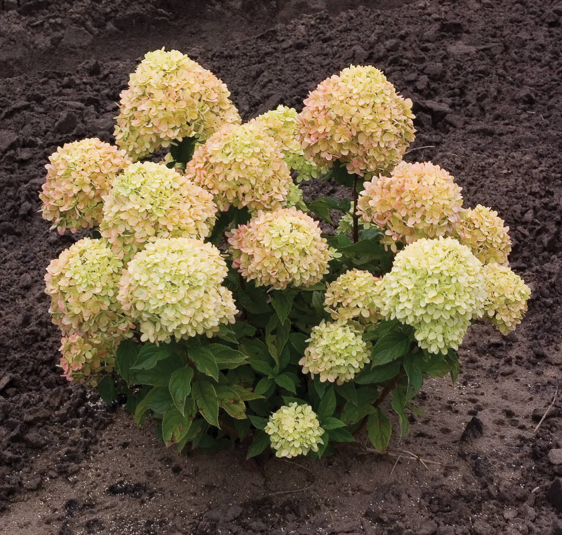 Garden housecalls hydrangea little lime - What is lime used for in gardening ...