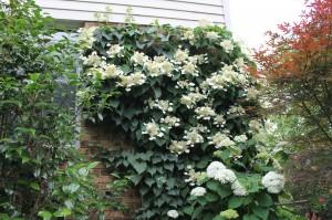 My Japanese hydrangea vine 'Moonlight.'