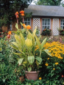 A guy plant if there ever was one -- big, bold, bright 'Tropicanna' cannas.