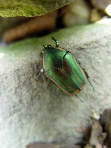 An adult June beetle.