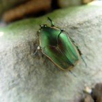 Banner July for June Beetle