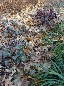 Leaves make an excellent winter insulation for perennials.