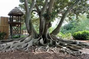 The curious paneled root system of a Moreton Bay fig.